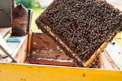 Το Honeycom με τις μέλισσες, μελισσοκόμος φροντίζει τις μέλισσες στον κήπο Στοκ Φωτογραφίες