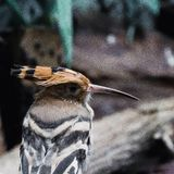 Το Hoopoe Στοκ εικόνες με δικαίωμα ελεύθερης χρήσης