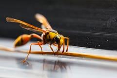 Το Hornets, Στοκ εικόνα με δικαίωμα ελεύθερης χρήσης