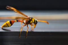 Το Hornets, Στοκ Εικόνες