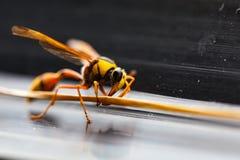 Το Hornets, Στοκ φωτογραφίες με δικαίωμα ελεύθερης χρήσης