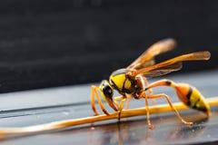 Το Hornets, Στοκ Φωτογραφίες