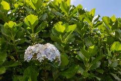 Το Hortensia αυξάνεται στο νησί του Σάο Miguel παντού Στοκ φωτογραφία με δικαίωμα ελεύθερης χρήσης