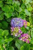 Το Hortensia αυξάνεται στο νησί του Σάο Miguel παντού Στοκ Φωτογραφίες