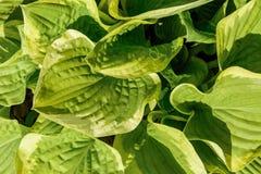 Το Hosta είναι ευρέως-καλλιεργημένη ανάγκη εγκαταστάσεων επίγειας κάλυψης πολύ λίγος ήλιος στοκ εικόνες