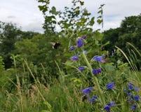 Το humblebee στοκ φωτογραφίες με δικαίωμα ελεύθερης χρήσης