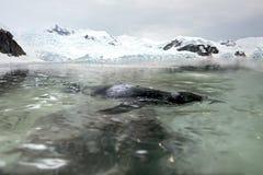 Το humboldti spheniscus penguin κολυμπά στο νερό στοκ φωτογραφίες