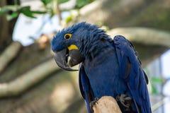 Το hyacinthinus Anodorhynchus υάκινθων macaw, ή το hyacinthine macaw ή το μπλε macaw εσκαρφάλωσαν σε έναν κλάδο στη Νότια Αμερική στοκ φωτογραφία με δικαίωμα ελεύθερης χρήσης