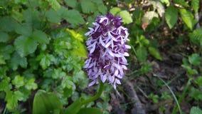 Το Hyacinthus είναι ένα μικρό γένος βολβοειδούς στοκ εικόνες