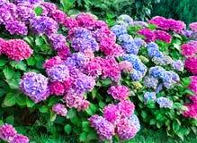 Το Hydrangea φυτεύει 2 με θάμνους Στοκ Εικόνες
