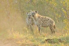 το hyena επισήμανε δύο Στοκ Εικόνα