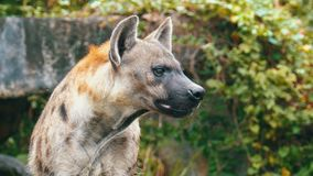 Το Hyena στις άγρια περιοχές κοιτάζει γύρω Ανοικτός ζωολογικός κήπος Kheow Khao Ταϊλάνδη φιλμ μικρού μήκους
