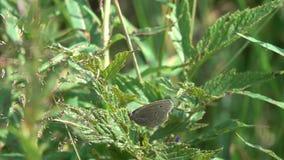 Το hyperantus Aphantopus μπουκλών πεταλούδων απογειώνεται, σε αργή κίνηση φιλμ μικρού μήκους
