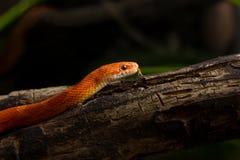 Το Hypo το φίδι καλαμποκιού Στοκ Εικόνα
