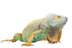 το iguana απομόνωσε το λευκό Στοκ εικόνα με δικαίωμα ελεύθερης χρήσης