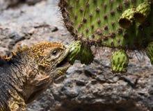 Το iguana εδάφους τρώει έναν κάκτο galapagos νησιά ωκεάνιος ειρηνικός Ισημερινός στοκ φωτογραφία με δικαίωμα ελεύθερης χρήσης