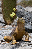 Το iguana εδάφους τρώει έναν κάκτο galapagos νησιά ωκεάνιος ειρηνικός Ισημερινός στοκ εικόνα με δικαίωμα ελεύθερης χρήσης