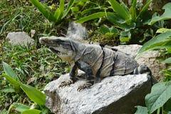 Το Iguana κάθεται στον απότομο βράχο κοντά στη των Μάγια archeological περιοχή Uxmal Στοκ φωτογραφία με δικαίωμα ελεύθερης χρήσης