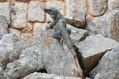Το Iguana κάθεται στον απότομο βράχο κοντά στη των Μάγια archeological περιοχή Uxmal Στοκ εικόνες με δικαίωμα ελεύθερης χρήσης