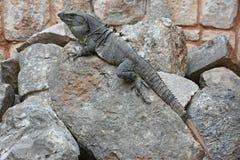 Το Iguana κάθεται στον απότομο βράχο κοντά στη των Μάγια archeological περιοχή Uxmal Στοκ Φωτογραφία