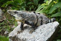 Το Iguana κάθεται στον απότομο βράχο κοντά στη των Μάγια archeological περιοχή Uxmal Στοκ Εικόνες