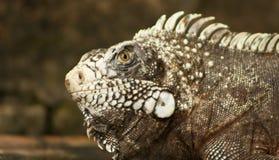 το iguana κοιτάζει Στοκ Εικόνα
