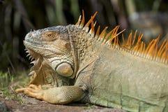 Το Iguana κοιτάζει Στοκ εικόνες με δικαίωμα ελεύθερης χρήσης