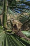 το iguana Στοκ φωτογραφία με δικαίωμα ελεύθερης χρήσης