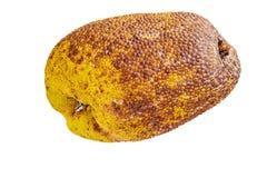 Το Jackfruit βρίσκεται στο άσπρο υπόβαθρο στο στούντιο στοκ εικόνα