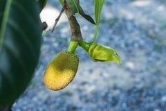 Το jackfruit στη φύση Στοκ Εικόνες