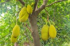 Το jackfruit Στοκ Εικόνες