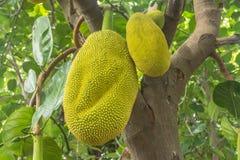 Το jackfruit Στοκ Φωτογραφίες