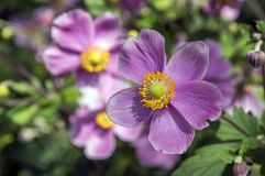 Το japonica hupehensis Anemone, ιαπωνικό anemone, windflower στην άνθιση με το φύλλωμα Στοκ φωτογραφία με δικαίωμα ελεύθερης χρήσης