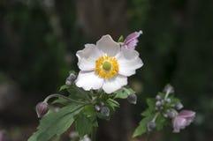 Το japonica hupehensis Anemone, ιαπωνικό anemone, windflower στην άνθιση Στοκ Εικόνα