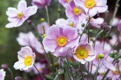 Το japonica hupehensis Anemone, ιαπωνικό anemone, windflower στην άνθιση Στοκ φωτογραφία με δικαίωμα ελεύθερης χρήσης