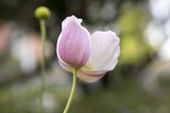 Το japonica hupehensis Anemone, ιαπωνικό anemone, windflower στην άνθιση Στοκ Εικόνες