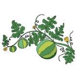 Το Juicy ώριμο καρπούζι στο φύλλωμα και τα λουλούδια είναι στο μόριο Απεικόνιση αποθεμάτων