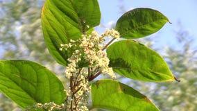 Το Knotweed Reynoutria και είδος japonica Fallopia το της εισβολής και επεκτατικού, επικίνδυνων φυτών, φύλλα και φρούτα, προέρχον φιλμ μικρού μήκους