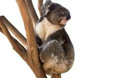 Το Koala αντέχει απομονωμένος Στοκ Εικόνες