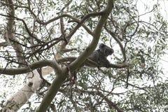 Το Koala αντέχει, Αυστραλία Στοκ Εικόνα