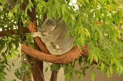 Το Koala αντέχει σε ένα δέντρο Στοκ φωτογραφίες με δικαίωμα ελεύθερης χρήσης