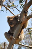 Το Koala αντέχει στην Αυστραλία Στοκ Φωτογραφία