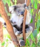 Το Koala αντέχει στη Μελβούρνη Στοκ Εικόνα