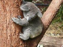 Το Koala αντέχει στο δέντρο ευκαλύπτων Στοκ Φωτογραφία