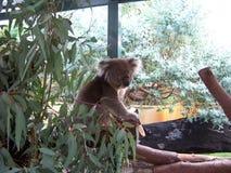 Το Koala αντέχει στο ζωολογικό κήπο Στοκ φωτογραφία με δικαίωμα ελεύθερης χρήσης