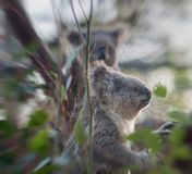 Το Koala αντέχει τα φύλλα Στοκ φωτογραφία με δικαίωμα ελεύθερης χρήσης