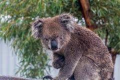 Το Koala αντέχει τη συνεδρίαση cinereus Phascolarctos στο δέντρο ευκαλύπτων Στοκ Φωτογραφίες
