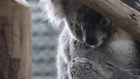 Το Koala αντέχει τον κορμό δέντρων Στοκ Φωτογραφία