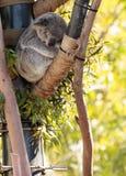 Το Koala αντέχει το cinereus Phascolarctos Στοκ Εικόνα