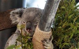 Το Koala αντέχει το cinereus Phascolarctos Στοκ Εικόνες